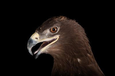 A steppe eagle (Aquila nipalensis) at Ocean Park in Hong Kong.