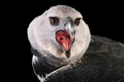 A harpy eagle (Harpia harpyja) at the Los Angeles Zoo.