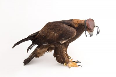 Picture of a Golden eagle (Aquila chrysaetos) at Tracy Aviary.