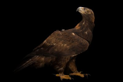 A golden eagle (Aquila chrysaetos candensis) at Tracy Aviary.