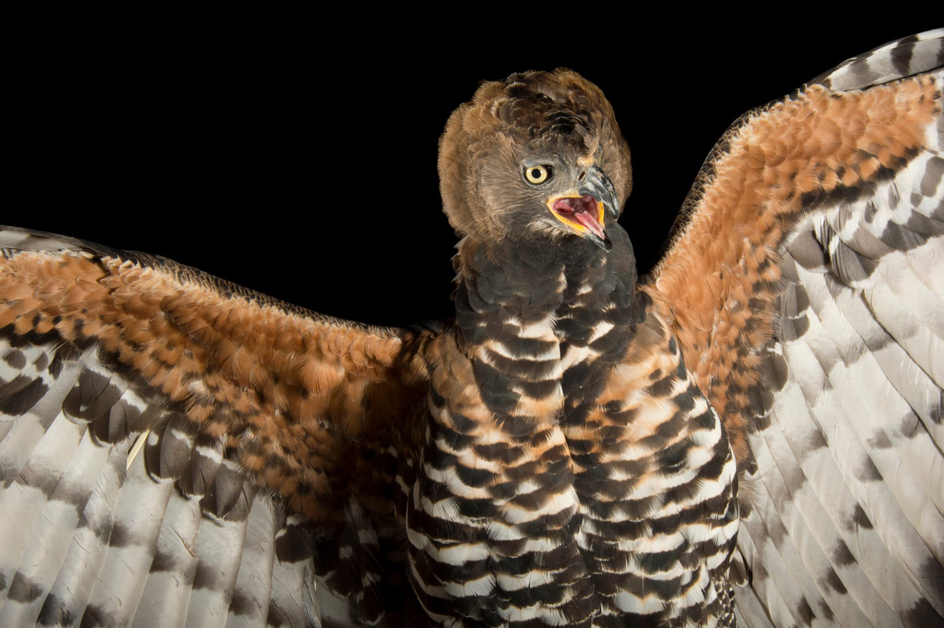Picture of a crowned eagle (Stephanoaetus coronatus) at the LA Zoo.