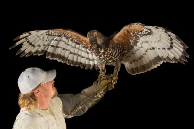Picture of a crowned eagle (Stephanoaetus coronatus) with a keeper at the LA Zoo.