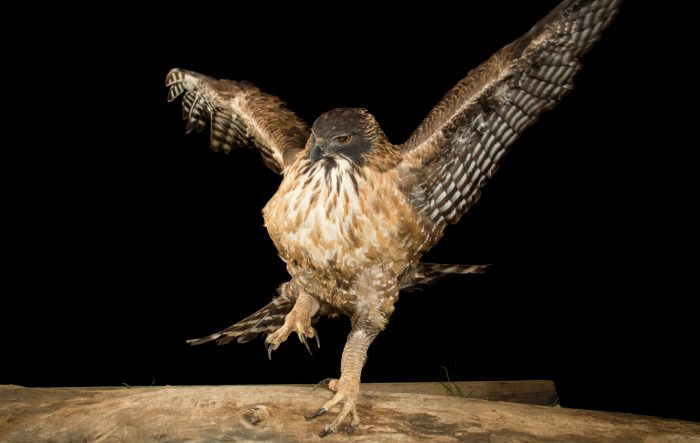 Picture of a Japanese mountain hawk-eagle (Nisaetus nipalensis orientalis) at the LA Zoo.