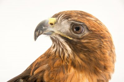 Picture of a Western red-tailed hawk (Buteo jamaicensis calurus) at the LA Zoo.