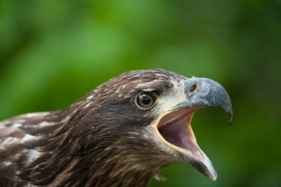 Photo: A juvenile golden eagle at the Lincoln Children's Zoo in Lincoln, Nebraska.