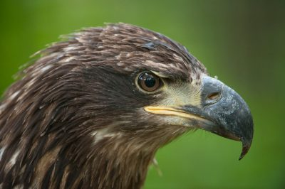 Photo: A juvenile golden eagle at the Lincoln Children's Zoo in Lincoln, Nebraska.