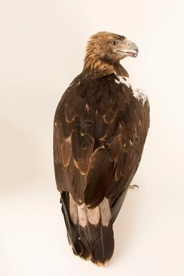 Photo: A vulnerable Spanish imperial eagle (Aquila adalberti) at the Madrid Zoo.