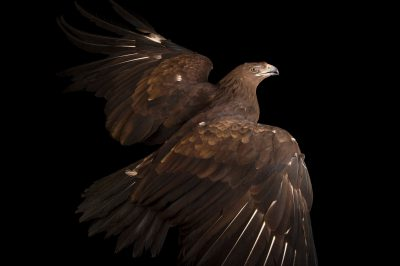 Photo: A greater spotted eagle (Aquila clanga) at the Plzen Zoo in the Czech Republic.