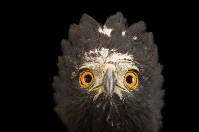 Photo: Black hawk-eagle or tyrant hawk-eagle (Spizaetus tyrannus) at Parque Jaime Duque near Bogota, Colombia.