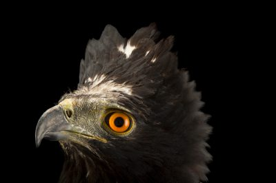 Photo: Black hawk-eagle or tyrant hawk-eagle (Spizaetus tyrannus) at Parque Jaime Duque near Bogota, Colombia.