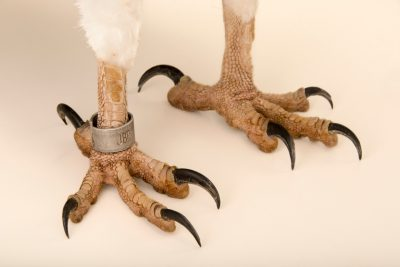 Photo: The feet of a white bellied sea eagle (Haliaeetus leucogaster) at the Jurong Bird Park.