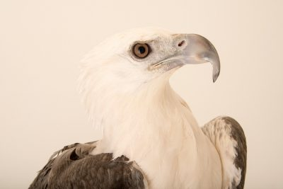 Photo: A white bellied sea eagle (Haliaeetus leucogaster) at the Jurong Bird Park.