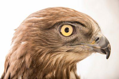 Photo: A short toed snake eagle (Circaetus gallicus) at the Jurong Bird Park.