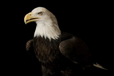 Photo: A bald eagle named Bensar at the George M. Sutton Avian Research Center.