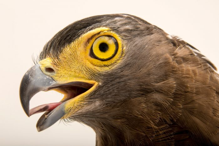 Photo: Crested serpent eagle (Spilornis cheela burmanicus) at ACCB in Siem Reap, Cambodia.