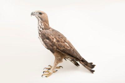 Photo: Changeable hawk-eagle (Nisaetus cirrhatus limnaeetus) at ACCB in Siem Reap, Cambodia.