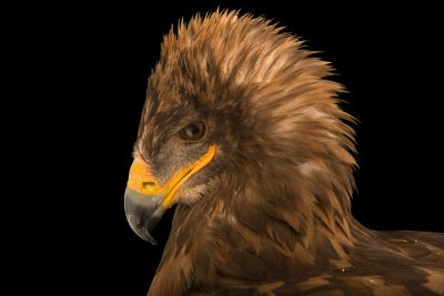 Photo: Magda, a Eurasian tawny eagle (Aquila rapax orientalis) at the Lisbon Zoo