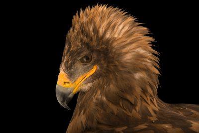 Photo: Magda, a Eurasian tawny eagle (Aquila rapax orientalis) at the Lisbon Zoo