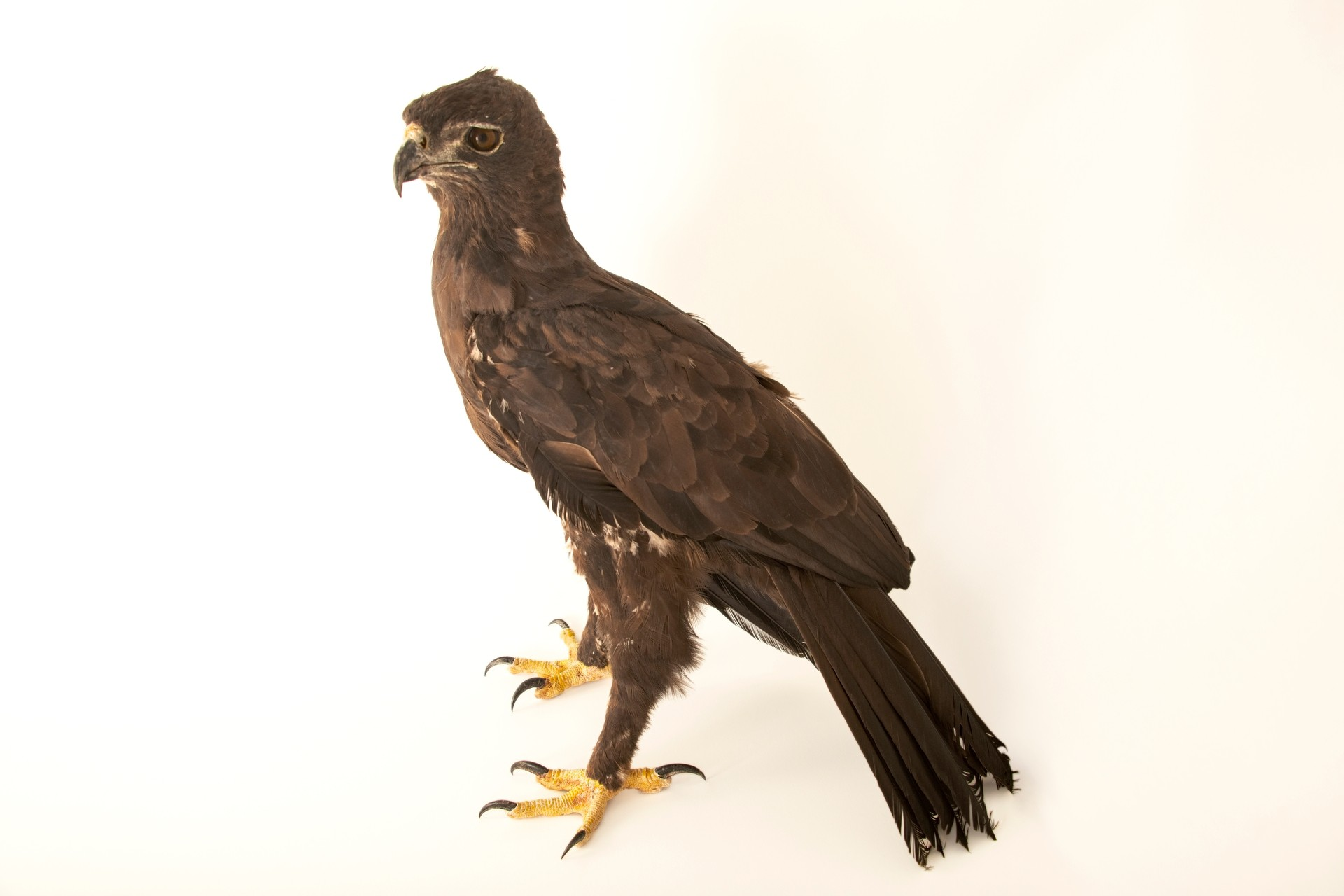 Photo: A black eagle (Ictinaetus malalensis malalensis) at a private collection in Jakarta, Indonesia.