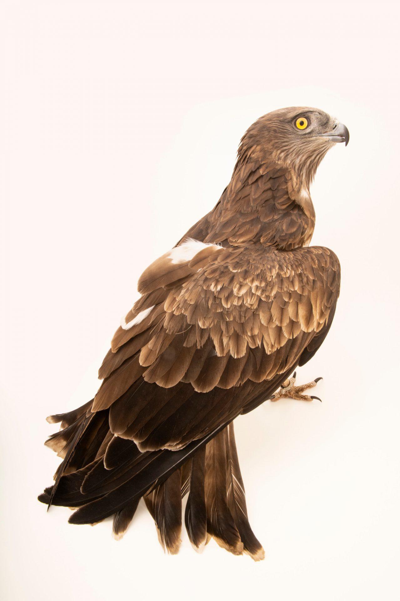 A short-toed snake eagle (Circaetus gallicus gallicus) at Parque Biologico in Vila Nova de Gaia, Porto, Portugal.