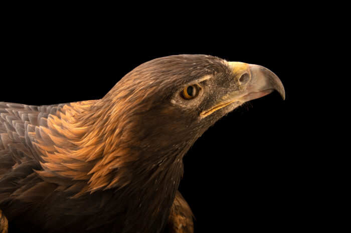 """Photo: A female America golden eagle (Aquila chrysaetos canadensis) at World Bird Sanctuary near St. Louis, MO. Her name is Kili, which is Lakota for """"Awesome""""."""