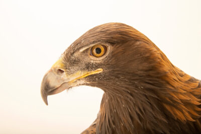 "Photo: A female America golden eagle (Aquila chrysaetos canadensis) at World Bird Sanctuary near St. Louis, MO. Her name is Kili, which is Lakota for ""Awesome""."