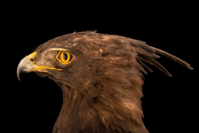 Photo: A male long-crested eagle (Lophaetus occipitalis) at World Bird Sanctuary.