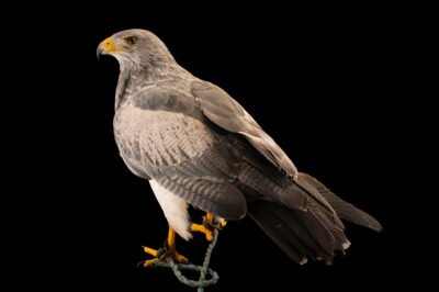 Photo: A black-chested buzzard-eagle (Geranoaetus melanoleucus australis) at Zoologico de Quito.