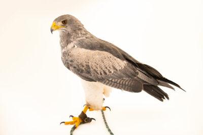 Photo: A black-chested buzzard-eagle (Geranoaetus melanoleucus australis) at Zoologico de Quito.
