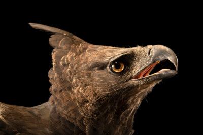 Photo: A crested eagle (Morphnus guianensis) at Zoologico de Quito.