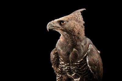 Photo: A crested eagle (Morphnus guianensis) at Zoologico de Quito.