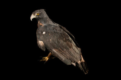 Photo: An endangered black and chestnut eagle (Spizaetus isidori) at Zoologico de Quito.