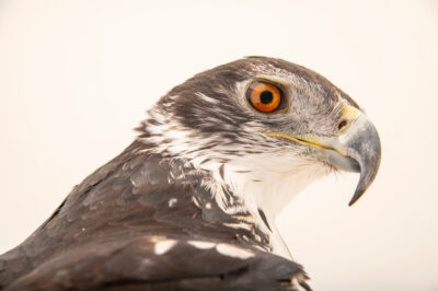 Photo: A female African hawk-eagle (Aquila spilogaster) at Zoopark Zajezd.