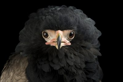 Photo: A bateleur eagle (Terathopius ecaudatus) at Saint Louis Zoo.