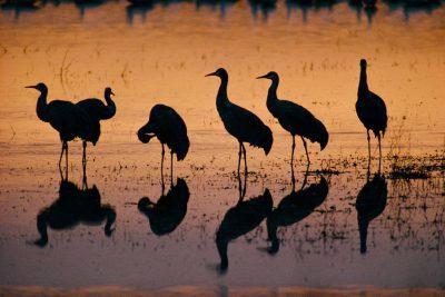 Photo: Common Sandhill Cranes at Bosque del Apache NWR, a migratory stopover, in New Mexico.