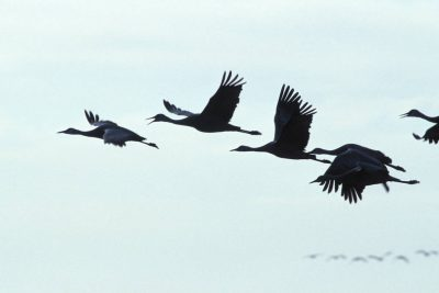 Photo: Sandhill cranes in flight over the Platte River near Kearney, Nebraska.