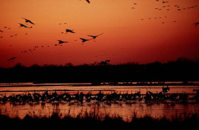 Photo: Sandhill cranes on the roost on the Platte River near Kearney, Nebraska.