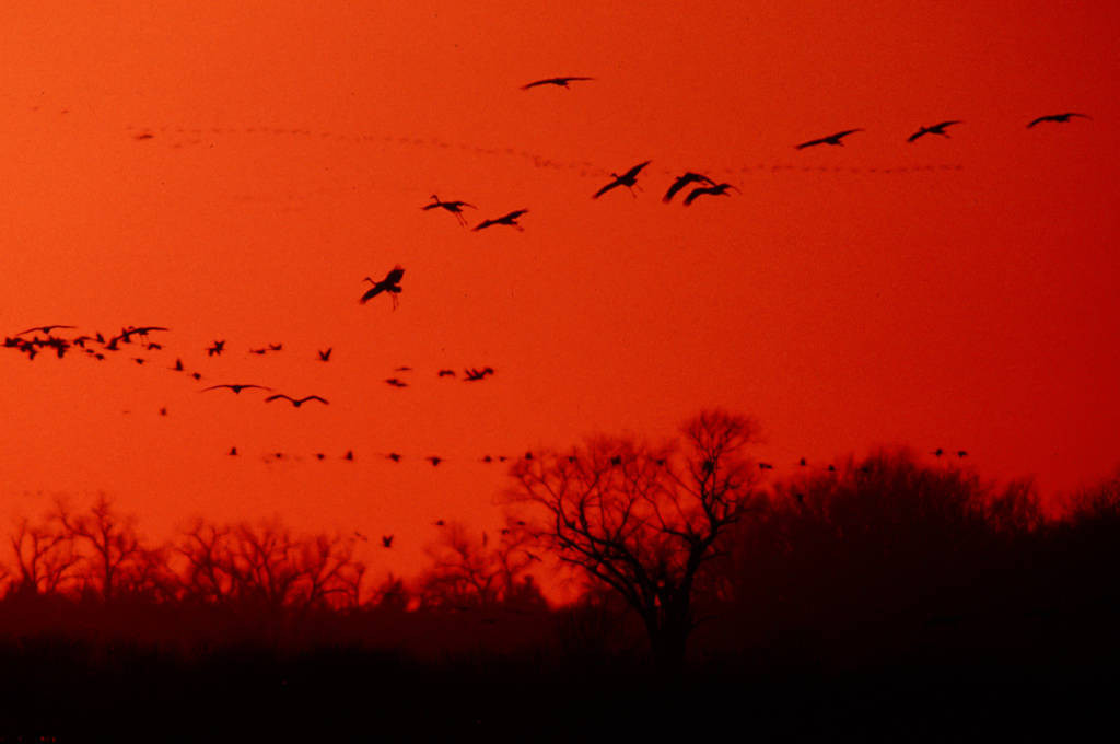 Photo: Sandhill cranes in flight over the Platte River near Kearney, NE.