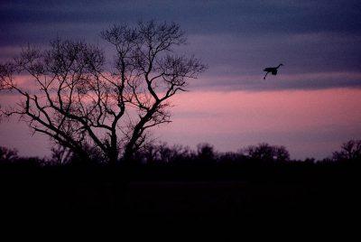 Photo: Sandhill crane in flight on the Platte River near Kearney, NE.