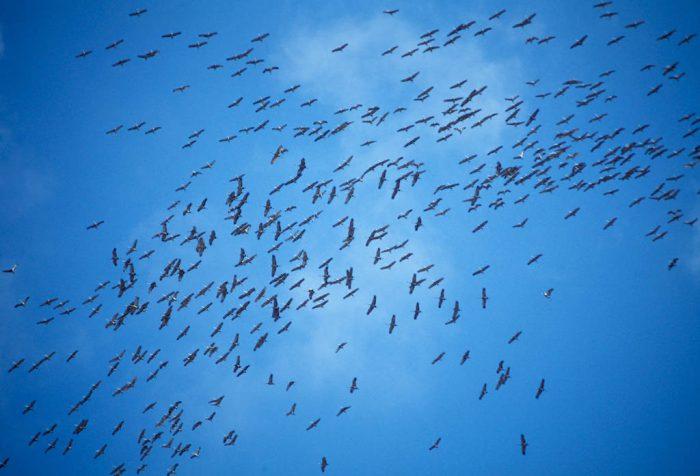 Photo: Sandhill cranes over the Platte River near Kearney, NE.