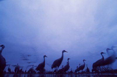 Photo: Sandhill cranes on the roost on the Platte River near Kearney, NE.