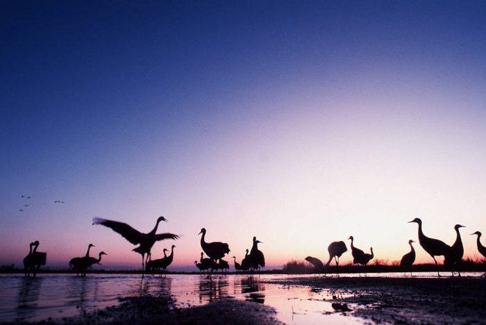 Photo: Sandhill cranes on the roost in the Platte River near Kearney, NE.