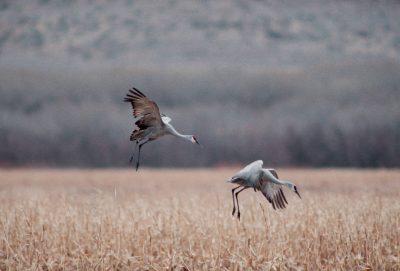Photo: Sandhill cranes land in a corn field at Bosque del Apache NWR in New Mexico.