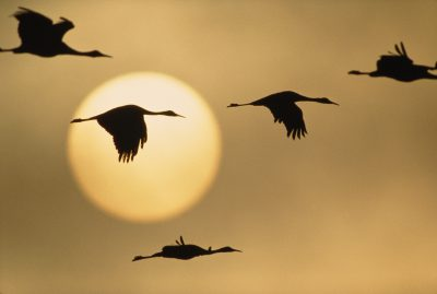 Photo: Sandhill cranes at Bosque del Apache NWR in New Mexico.