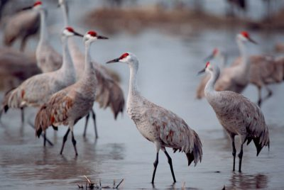 Photo: Sandhill cranes on the Platte River near Kearney, Nebraska.
