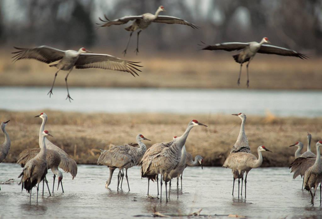 Photo: Sandhill cranes on the Platte River near Kearney, Nebraska.