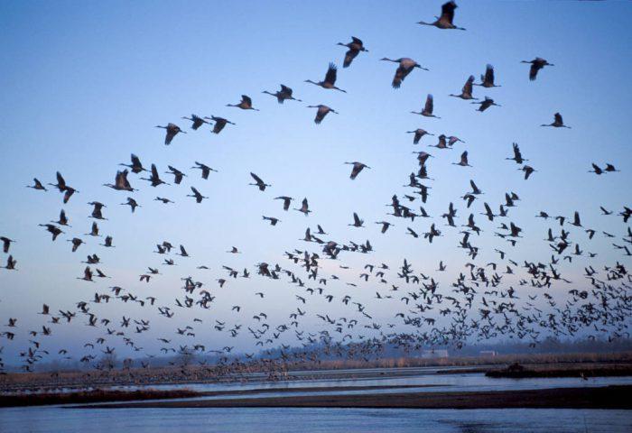 Photo: Sandhill cranes in flight over the Platte River near Kearney, Nebraska.