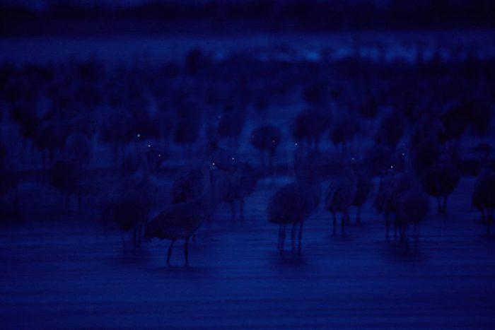 Photo: Sandhill cranes on the Platte River near Kearney, NE.