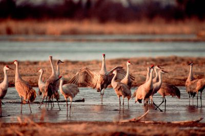 Photo: Sandhill cranes on the roost on the Platte River near Kearney, NE.
