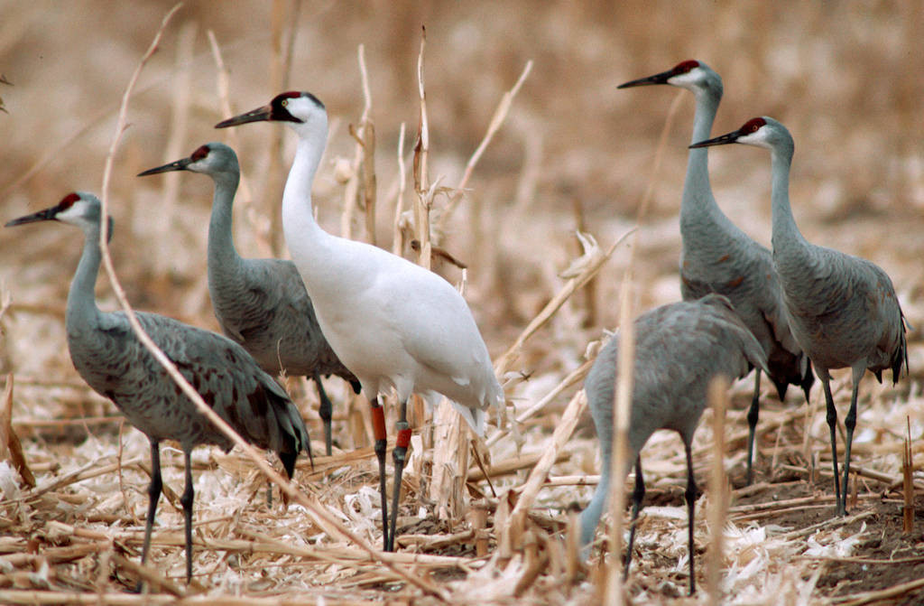 Sandhill Crane National Geographic >> Bir003 00076 Joel Sartore